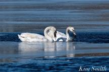 Mute Swans Gloucester Massachusetts copyright Kim Smith - 3