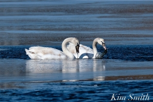 Mute Swans Gloucester Massachusetts copyright Kim Smith - 3