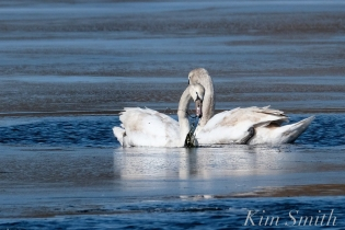 Mute Swans Gloucester Massachusetts copyright Kim Smith - 4
