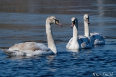 Mute Swans Gloucester Massachusetts copyright Kim Smith - 6