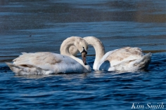 Mute Swans Gloucester Massachusetts copyright Kim Smith - 7 jpg