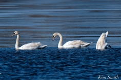 Mute Swans Gloucester Massachusetts copyright Kim Smith - 9