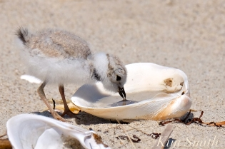 Piping Plover chick drinking water from a shell copyright Kim Smith