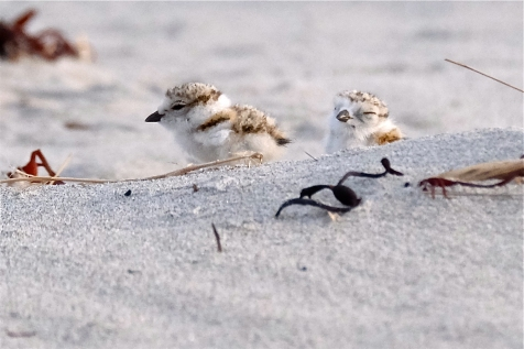 Piping Plover Chicks Two-day-old Good Harbor Beach June 10, 2018 copyright Kim Smith