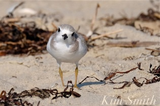 Piping Plover Fledgling copyright Kim Smith