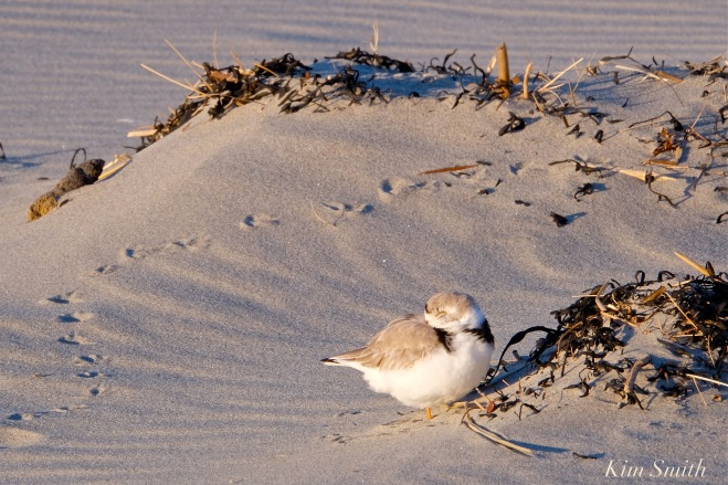 Piping Plover Male Sleeping Plover tracks Good Harbor Beach Gloucester MA copyright Kim Smith