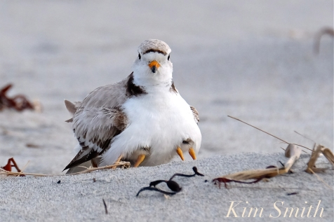 Piping Plover Two-day-old Chicks Good Harbor Beach -11 copyright Kim Smith