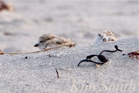 Piping Plover Two-day-old Chicks Good Harbor Beach -14 copyright Kim Smith