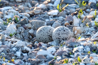 Piping Plover Two Eggs in parking lot Gloucester Massachusetts copyright Kim Smith