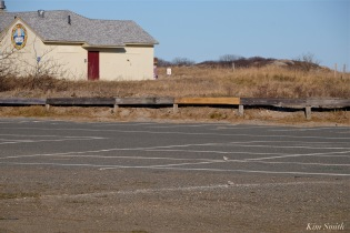 Piping Plovers Nesting in Parking Lot -4 copyright Kim Smith