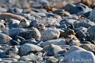 Snow Buntings Rocks Camouflage -1 copyright Kim Smith