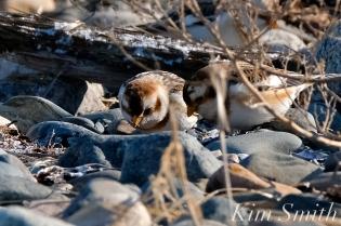 Snow Buntings Rocks Camouflage -3 copyright Kim Smith