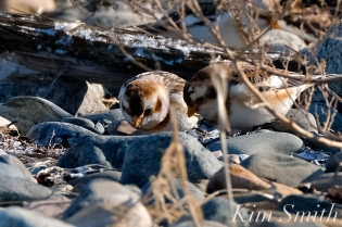 Snow Buntings Rocks Camouflage -3 copyright Kim Smith