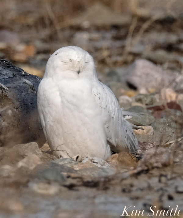 Snowy Owl Male Sleeping -2 copyright Kim Smith