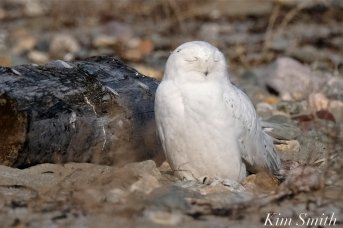 Snowy Owl Male Sleeping copyright Kim Smith