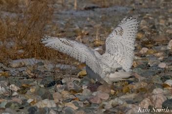 Snowy Owl Male Wings -2 copyright Kim Smith