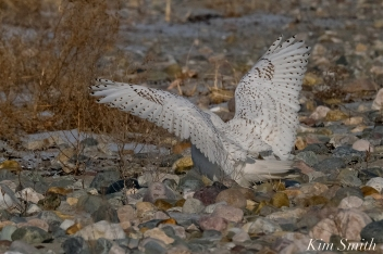 Snowy Owl Male Wings -2 copyright Kim Smith