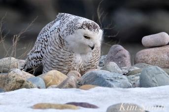 Snowy Owl Snowy Beach female copyright Kim Smith - 06