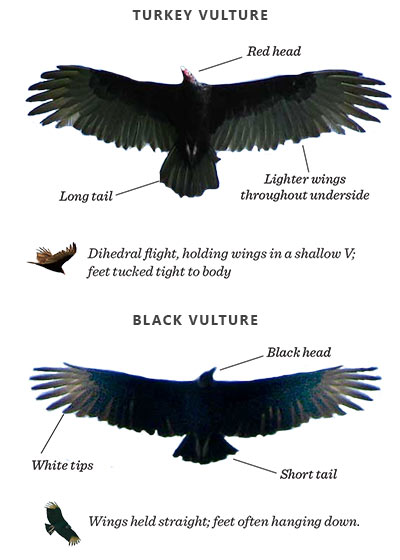 Rarely Seen On Cape Ann A Black Vulture Kim Smith Designs