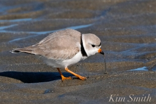 Piping Plovers Good Harbor Beach Gloucester Massachusetts copyright Kim Smith - 03