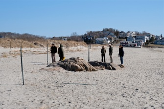 Piping Plovers Good Harbor Beach Gloucester Massachusetts copyright Kim Smith - 10
