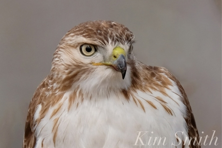 Red-tailed Hawk juvenile one year old -2 copyright Kim Smith