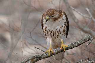 Red-tailed Hawk juvenile one year old -3 copyright Kim Smith