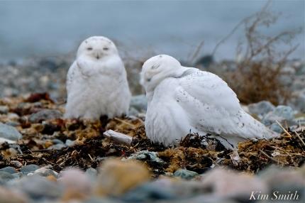 Snowy Owl Two Male Bubo scandiacus -2 copyright Kim Smith