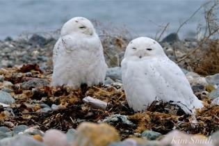 Snowy Owl Two Male Bubo scandiacus -4 copyright Kim Smith