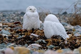 Snowy Owl Two Male Bubo scandiacus -5 copyright Kim Smith