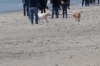 Dog Disturbance Good Harbor Beach Gloucester 4-6-19 c Kim Smith - 05