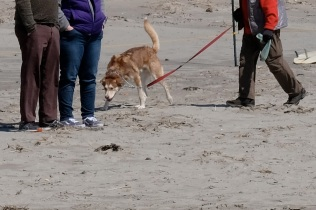 Dog Disturbance Good Harbor Beach Gloucester 4-6-19 c Kim Smith - 10
