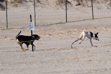 Dog Disturbance Good Harbor Beach Gloucester 4-6-19 c Kim Smith - 27