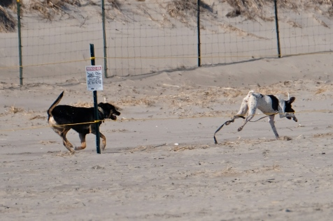 Dogs in Piping Plover Nesting Area Good Harbor Beach Gloucester copyright Kim Smith