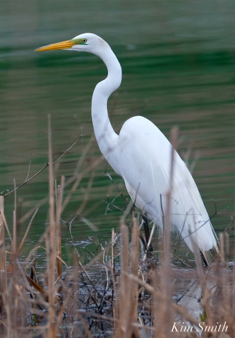 Great Egret Cattails copyright Kim Smith