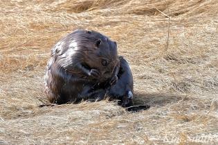 North American Beaver Salt Marsh Massachusetts copyright Kim Smith - 06