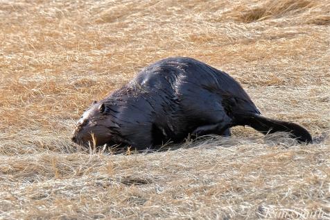 North American Beaver Salt Marsh Massachusetts copyright Kim Smith - 10