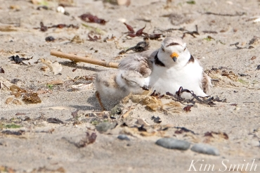 Piping Plover Chick and Female Windy Storm copyright Kim Smith