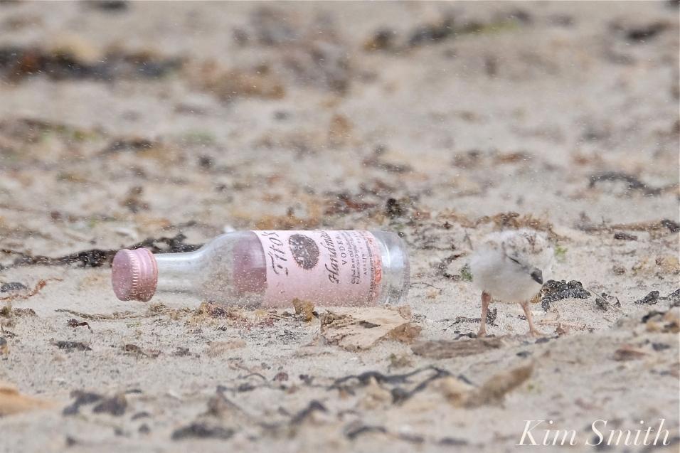 Piping Plover Chick Titos Vodka Nip -2 copyright Kim Smith