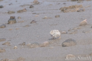 Piping Plover Chick Windy Storm copyright Kim Smith