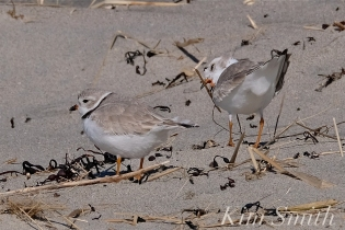 Piping Plover Courtship Good Harbor Beach copyright Kim Smith - 14
