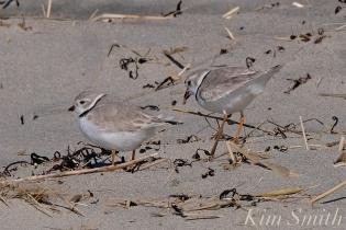 Piping Plover Courtship Good Harbor Beach copyright Kim Smith - 15