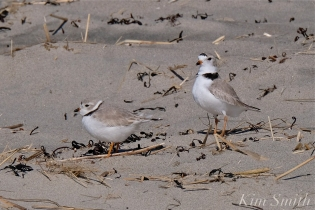 Piping Plover Courtship Good Harbor Beach copyright Kim Smith - 16