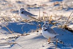 Piping Plover Male Female Good Harbor Gloucester Massachusetts copyright Kim Smith