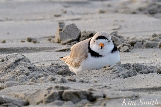 Piping PLover Papa Male -2 GHB 4-25-19 copyright Kim Smith