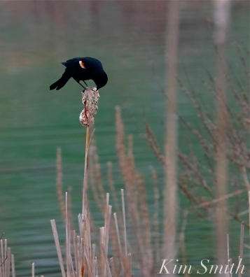 Red-winged Blackbird Cattails copyright Kim Smith