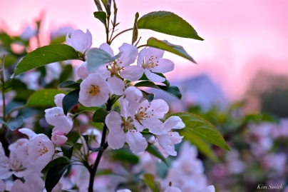Apple Blossom Sunrise -2 copyright Kim Smith