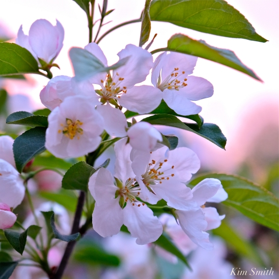 Apple Blossom Sunrise -3 copyright Kim Smith