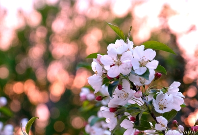 Apple Blossom Sunrise copyright Kim Smith