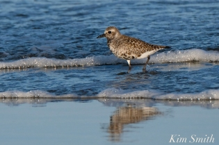 Black-bellied Plover GHB Gloucester MA copyright Kim Smith - 03